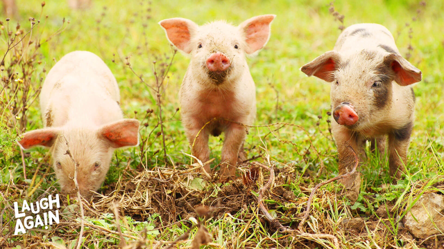 Life and the 3 Little Pigs